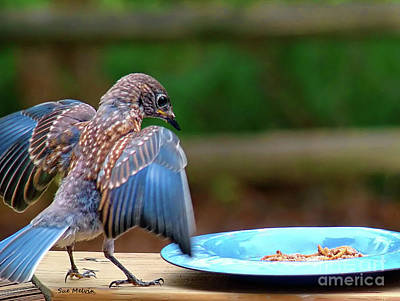 Young Bluebird's Delight Art Print by Sue Melvin