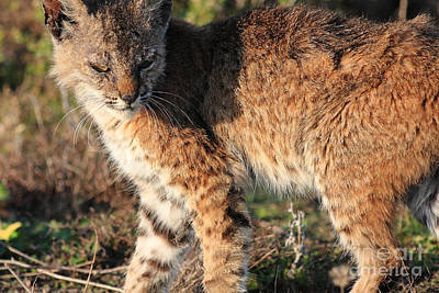 Young Bobcat 01 Art Print by Wingsdomain Art and Photography