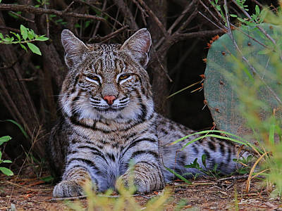 Photograph - Young Bobcat by Bob Zeller