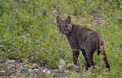 Photograph - Young Bobcat by Linda Shannon Morgan