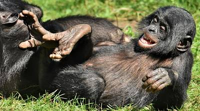Photograph - young Bonobo at play by Werner Lehmann