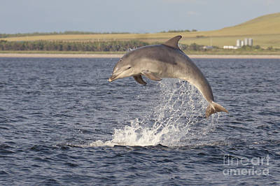 Photograph - Young Bottlenose Dolphin - Scotland #13 by Karen Van Der Zijden