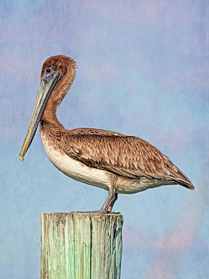 Photograph - Young Brown Pelican by HH Photography of Florida