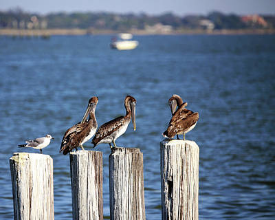 Photograph - Young Brown Pelicans by Judy Vincent