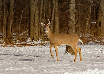 Photograph - Young Buck At Edge Of Woods by Ron Grafe
