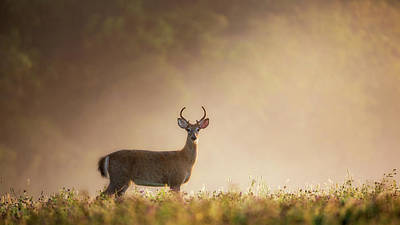 White Tail Deer Photograph - Young Buck by Bill Wakeley