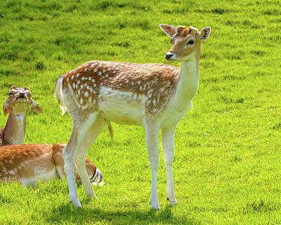 Photograph - Young Buck Deer by Jacek Wojnarowski
