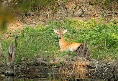 Photograph - Young Buck Deer Resting By Pond by Sheila Brown