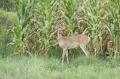 Cornfield Photograph - Young Buck In Velvet 1-2015 by Thomas Young