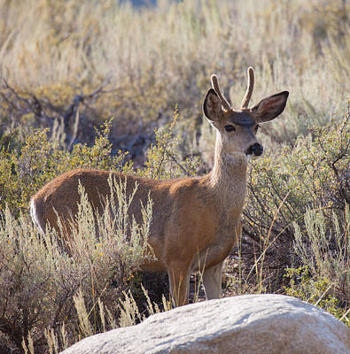 Photograph - Young Buck Mule Deer by Melinda Fawver