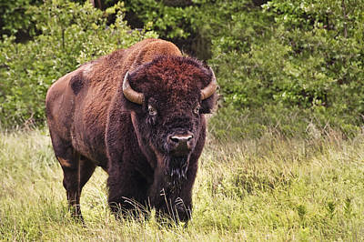 Photograph - Young Buffalo by Tamyra Ayles