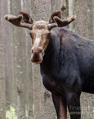 Photograph - Canadian Bull Moose 1 by Bob Christopher