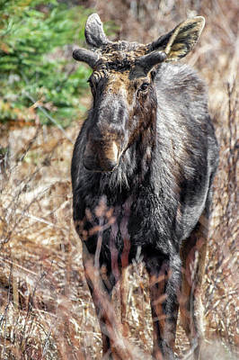 Photograph - Young Bull Moose by Irwin Seidman