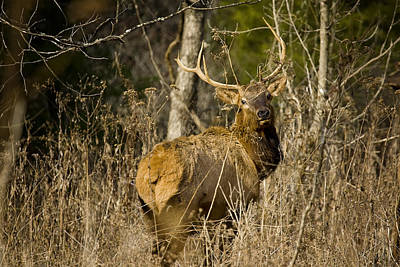 Art Print featuring the photograph Young Bull On A Woodland Trail by Michael Dougherty