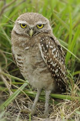 Photograph - Young Burrowing Owl by Bradford Martin