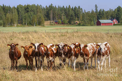 Red Barn Photograph - Young Calves On Pasture by Veikko Suikkanen