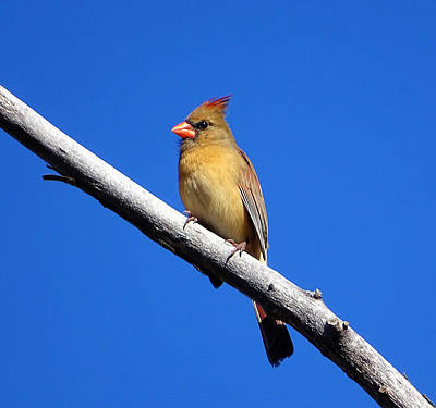 Photograph - Young Cardinal Bird by Lilia D