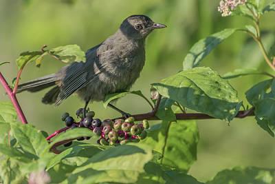 Photograph - Young Catbird Enjoying Berries by Bruce Pritchett