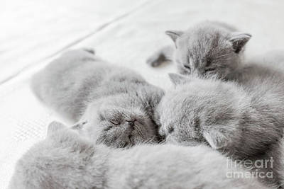 Photograph - Young Cats Snuggling Togrther. British Shorthair. by Michal Bednarek