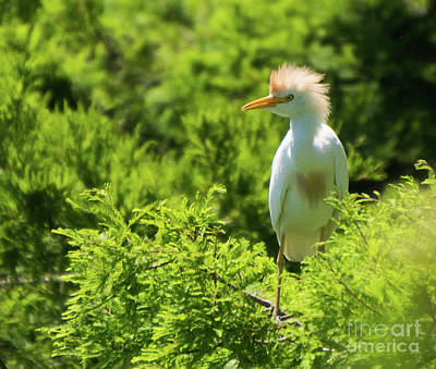 Photograph - Young Cattle Egret by Vincent Billotto