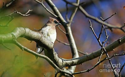 Photograph - Young Cedar Waxwing by Debbie Parker