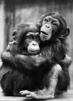 Photograph - Young Chimpanzees by Granger