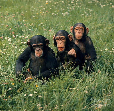 Photograph - Young Chimpanzees Playing by Toni Angermayer