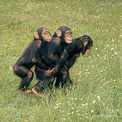 Photograph - Young Chimpanzees by Toni Angermayer