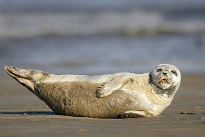 Photograph - Young Common Seal Sleeping On The Beach by Tony Mills