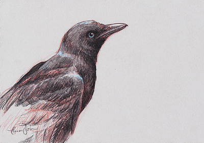 Blackbird Drawing - Young Crow 1 by Tracie Thompson