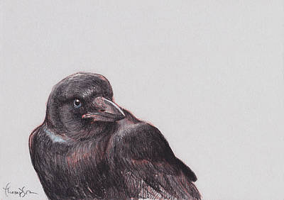 Blackbird Drawing - Young Crow 2 by Tracie Thompson