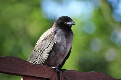 Photograph - Young Crow by Randi Grace Nilsberg