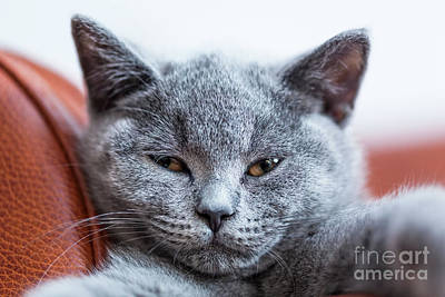 Playful Photograph - Young Cute Cat Portrait Close-up. The British Shorthair Kitten With Blue Gray Fur by Michal Bednarek