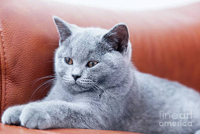 Kitten Photograph - Young Cute Cat Resting On Leather Sofa. The British Shorthair Kitten With Blue Gray Fur by Michal Bednarek