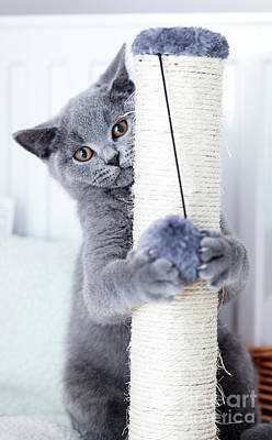 Adorable Photograph - Young Cute Cat Scratching His Claws On A Scratcher. by Michal Bednarek