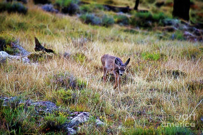 Photograph - Young Deer 2 by David Arment