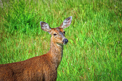 Photograph - Young Deer by Bill Posner