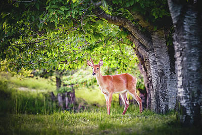 Photograph - Young Deer Buck by Debi Bishop