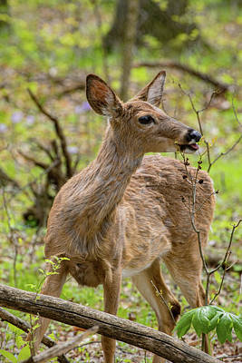 Photograph - Young Deer - Foraging by Ron Grafe