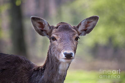 Photograph - Young Deer by Giovanni Malfitano