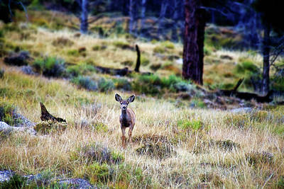 Photograph - Young Deer In Mountain Meadow by David Arment
