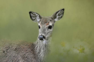 Photograph - Young Deer In Spring by Jai Johnson