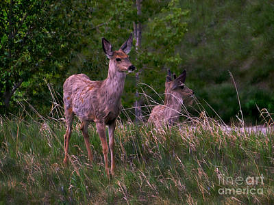 Photograph - Young Deer In The Spring by Al Bourassa