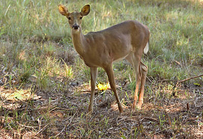 Photograph - Young Deer by Robert Brown