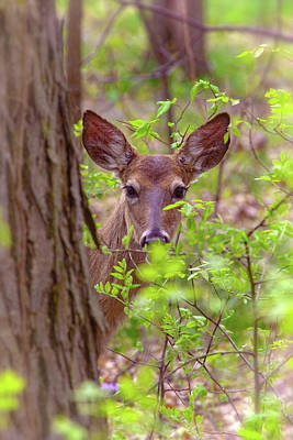 Photograph - Young Deer - Sneaking A Look by Ron Grafe