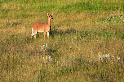 Photograph - Young Deer by Todd Klassy