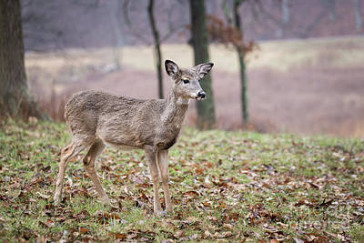 Photograph - Young Doe by Andrea Silies
