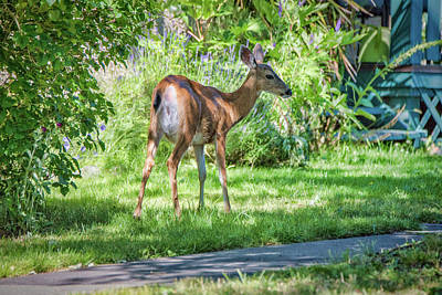 Photograph - Young Doe by Keith Boone
