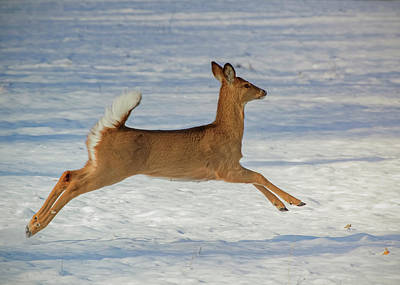Photograph - Young Doe Running Through The Snow by Ron Grafe