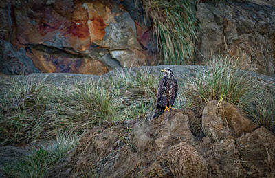 Photograph - Young Eagle  by Bill Posner